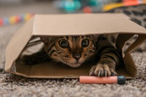 A purebred Bengal cat playing.